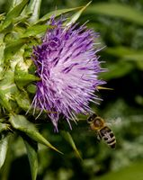 Milk Thistle Plant Care