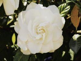 Ce qui rend les feuilles des plantes Gardenia jaunissent?
