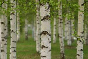 Qu'est-ce qu'un Birch ornement?