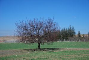 Fruit Tree problèmes: les arbres ne portent leurs fruits