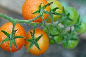 Que pulvériser sur les plantes de tomates Avec
