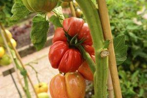 Comment traiter Tomate Champignon usine