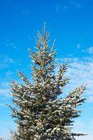 Comment identifier les arbres à feuilles persistantes dans le Wisconsin