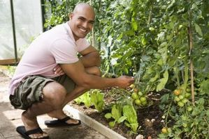 Dépannage plants de tomates