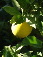Arbre problèmes Key Lime