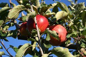 Comment Près de planter des arbres de fruits pour la pollinisation