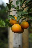 Comment prendre soin de Homegrown Orangers