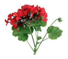 Comment obtenir en pot géraniums en fleur