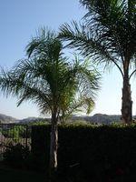 Quelles sont les causes Brown Spotting sur Canary Palm Trees?