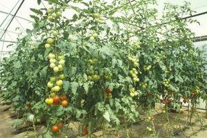 Éclairage pour hydroponiques tomates