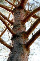 Comment prendre soin des malades de pins