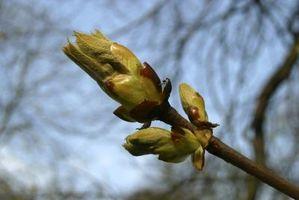 Identification des arbres par Brindilles
