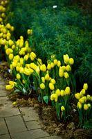 Comment concevoir la plantation de tulipes