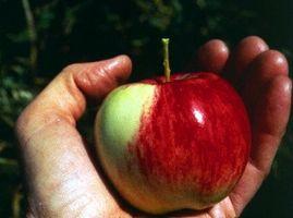Comment cultiver des pommes en Californie