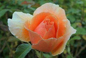 Quelle est la signification de Coral Roses?