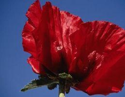 Quand planter des graines de pavot rouge - Quand planter les oignons rouges ...