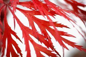Lorsque Do Dentelle Feuille japonaise Maples produire des graines?