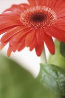 Comment faire un Calla Lily & Gerbera Bouquet