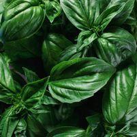 Que font les plants de basilic Ressemblez Coming Up?