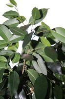 Comment tailler un arbre Rubber Plant