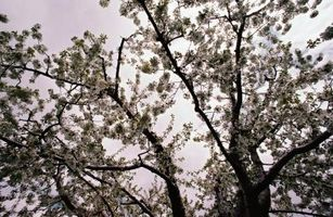Comment tailler les arbres centrale leader d'Apple