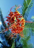 Comment récolter Desert Bird of Paradise Seeds