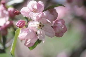 À propos Angiospermes Fleurs