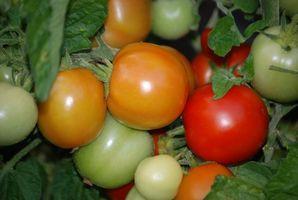 variétés de tomates pour la Californie