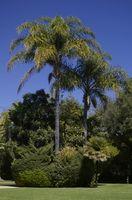 Variétés Palm