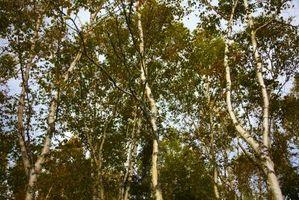 Combien d'eau un arbre ne soulève de ses racines à ses feuilles en un jour?