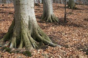 Les arbres et les racines Champignon