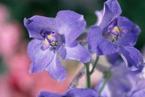 Plantes Viola