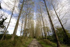Les meilleurs arbres à croissance rapide à utiliser pour bois de chauffage