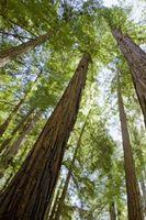 Différence entre Redwoods & Dandelion