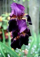 Comment cultiver iris barbus dans les conteneurs