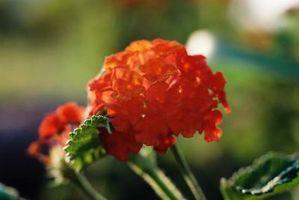 Types de plantes Verveine