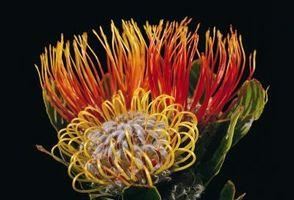 Comment cultiver Protea dans une serre