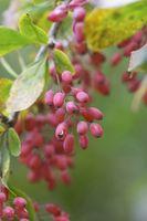 Sont Bayberry & vinette le même Herb?