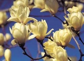 Comment Big Trees Do Magnolia Get?