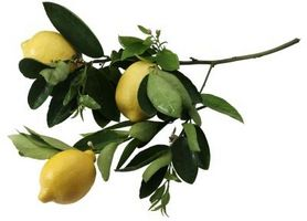 Lorsque Do Lemon Trees Bloom?