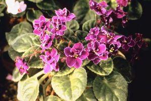 Comment faire pousser de belles violettes africaines