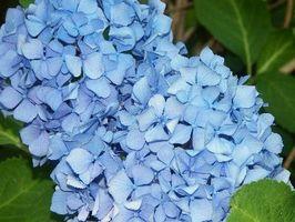 Pourquoi les Hortensias Turn Blue?