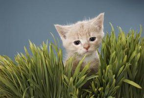 Plantes de poivron sont toxiques pour les chats?
